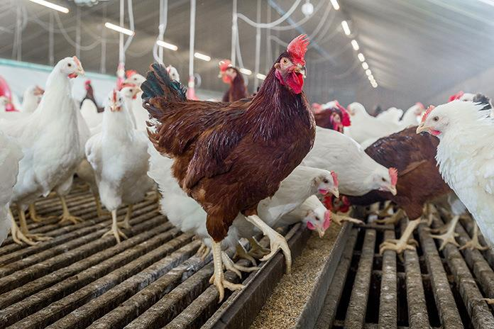 led lights for chicken houses