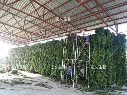 ginseng leaf drying