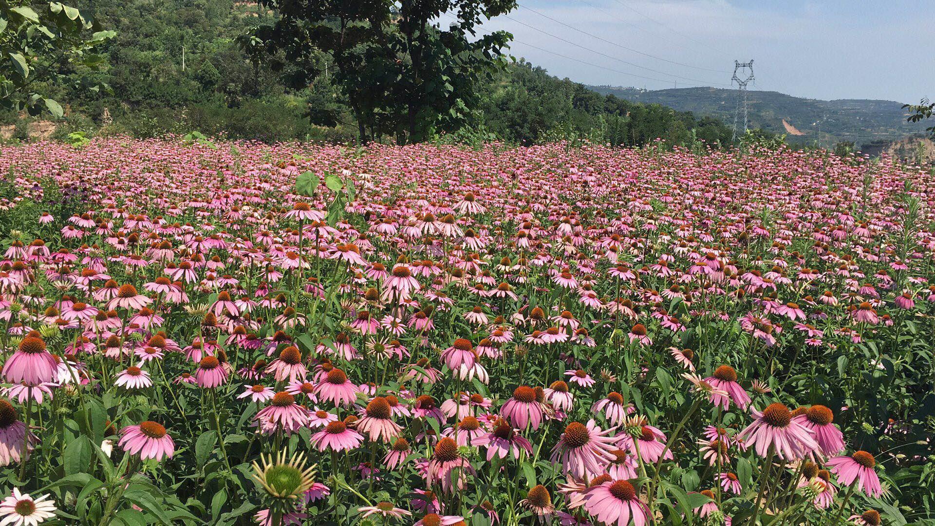 echinacea extract base2.JPG