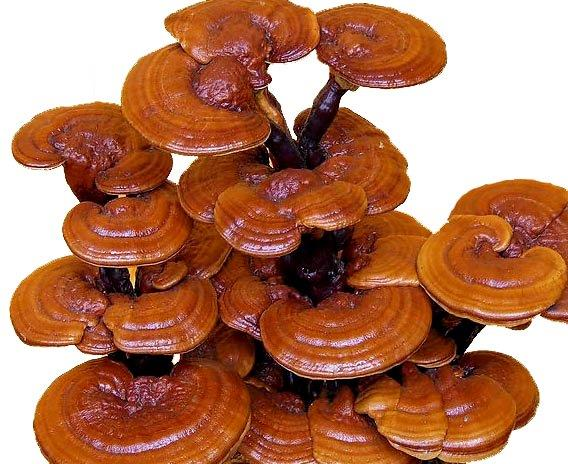 reishi_mushroom1.jpg