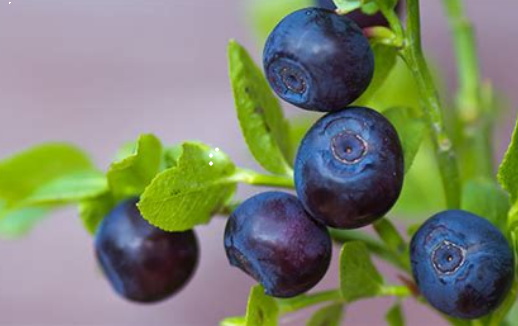 Bilberry Extract.png