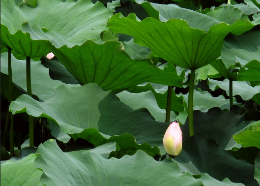 Lotus Leaf Extract.png