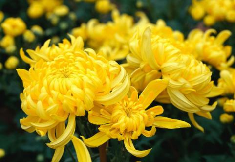 Chrysanthemum Extract.png