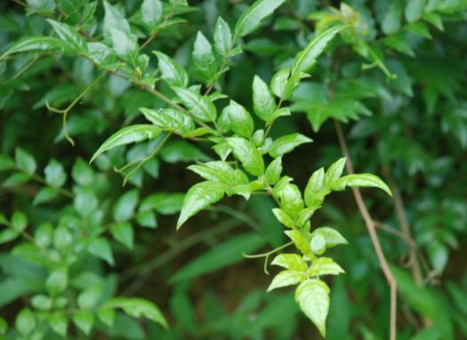 Vine Tea Extract.png