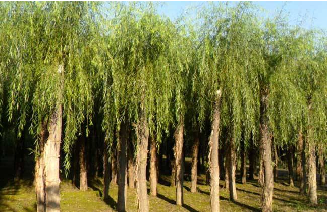 White Willow Bark Extract.png