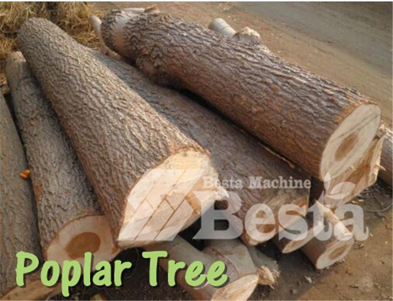 poplar tree  (1)