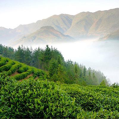 green-tea-(6)