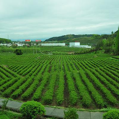 green-tea-(7)