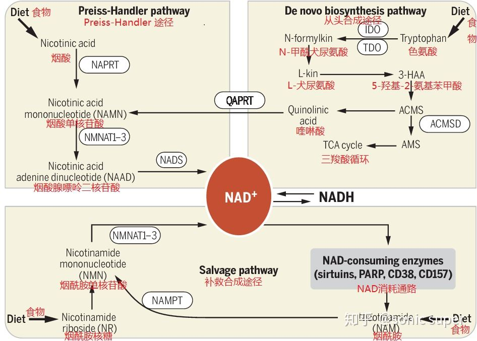 NMN Pathways to become NAD+